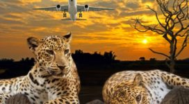 The Changing Spots of Competitive Leopards